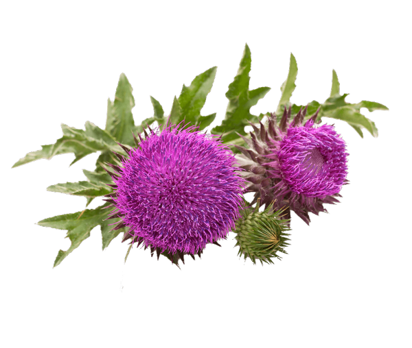 MILK THISTLE  - Bonomelli