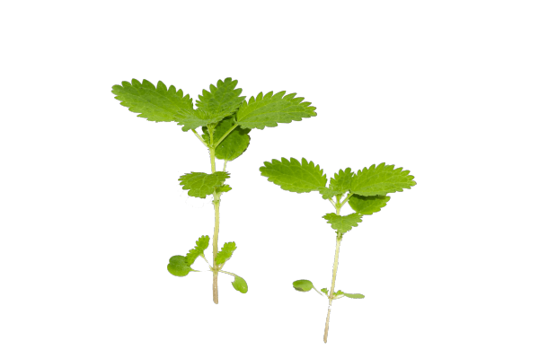 COMMON NETTLE - Bonomelli